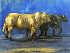 British Blonde Bull and his Aberdeen Angus Cows